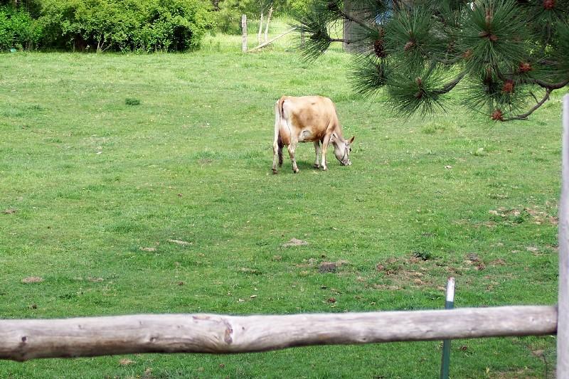 The Milk Cow